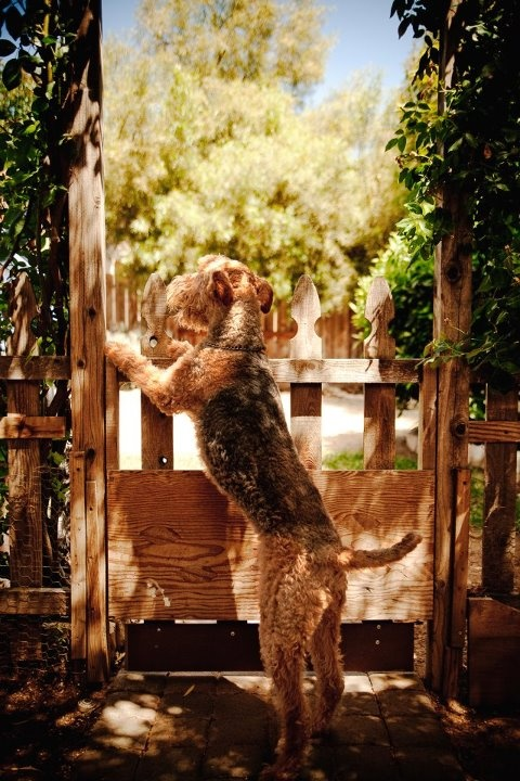 Airedale terrier curious and loyal