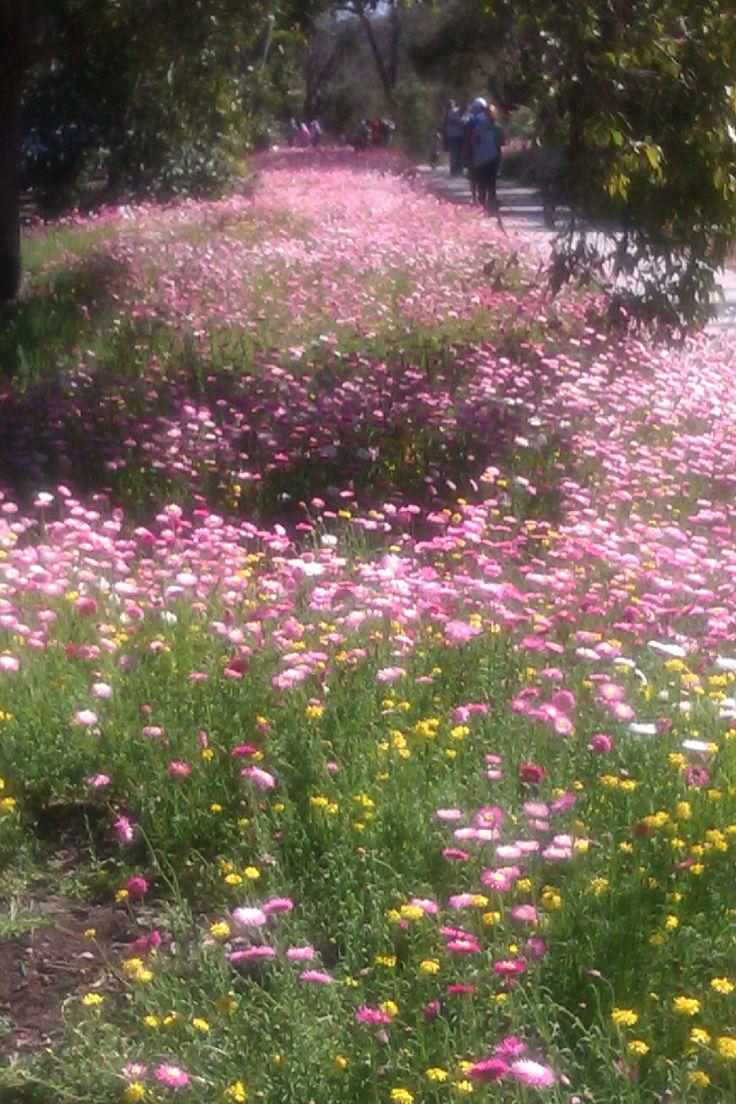 wildflowers - Kings park