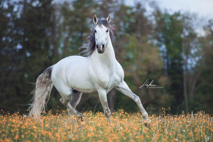 Weisser Andalusier Hengst trabt im Frühling über gelbe Blumenwiese | Pferd | Bilder | Foto | Fotografie | Fotoshooting | Pferdefotografie | Pferdefo…