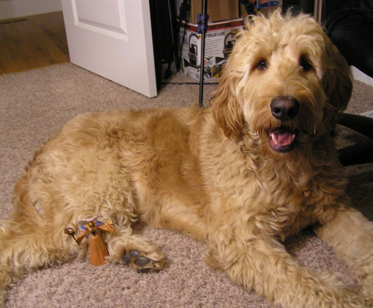 goldendoodle haircuts styles 130 best images about golden doodle grooming styles on 1521