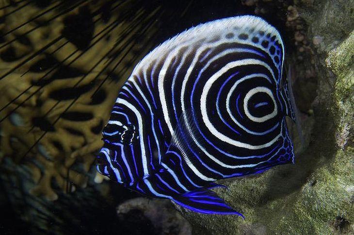 Lindos peixes coloridos Peixe Anjo-Imperador
