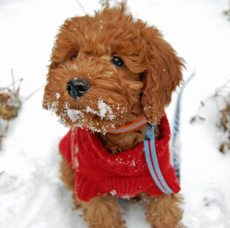 Miniature goldendoodle... he looks sooooo freakin' cute