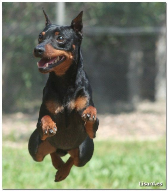 Jumping min pin. Miniature Pinscher dog art portraits, photographs, information and just plain fun. Also see how artist Kline draws his dog art from only words at drawDOGS.com #drawDOGS http://drawdogs.com/product/dog-art/miniature-pinscher-dog-portrait-by-stephen-kline/ He also can add your dog's name into the lithograph.