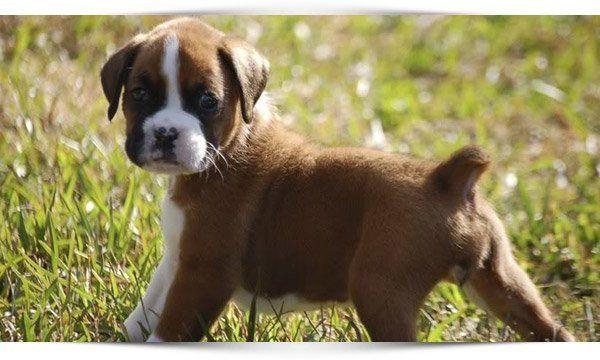 boxer hond - Google zoeken