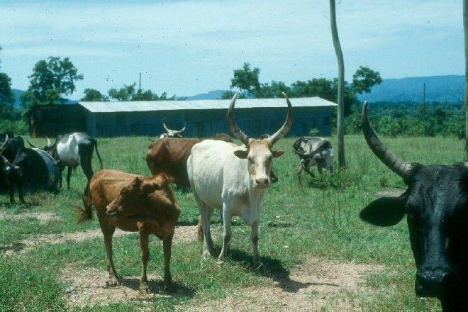 Abigar Cows