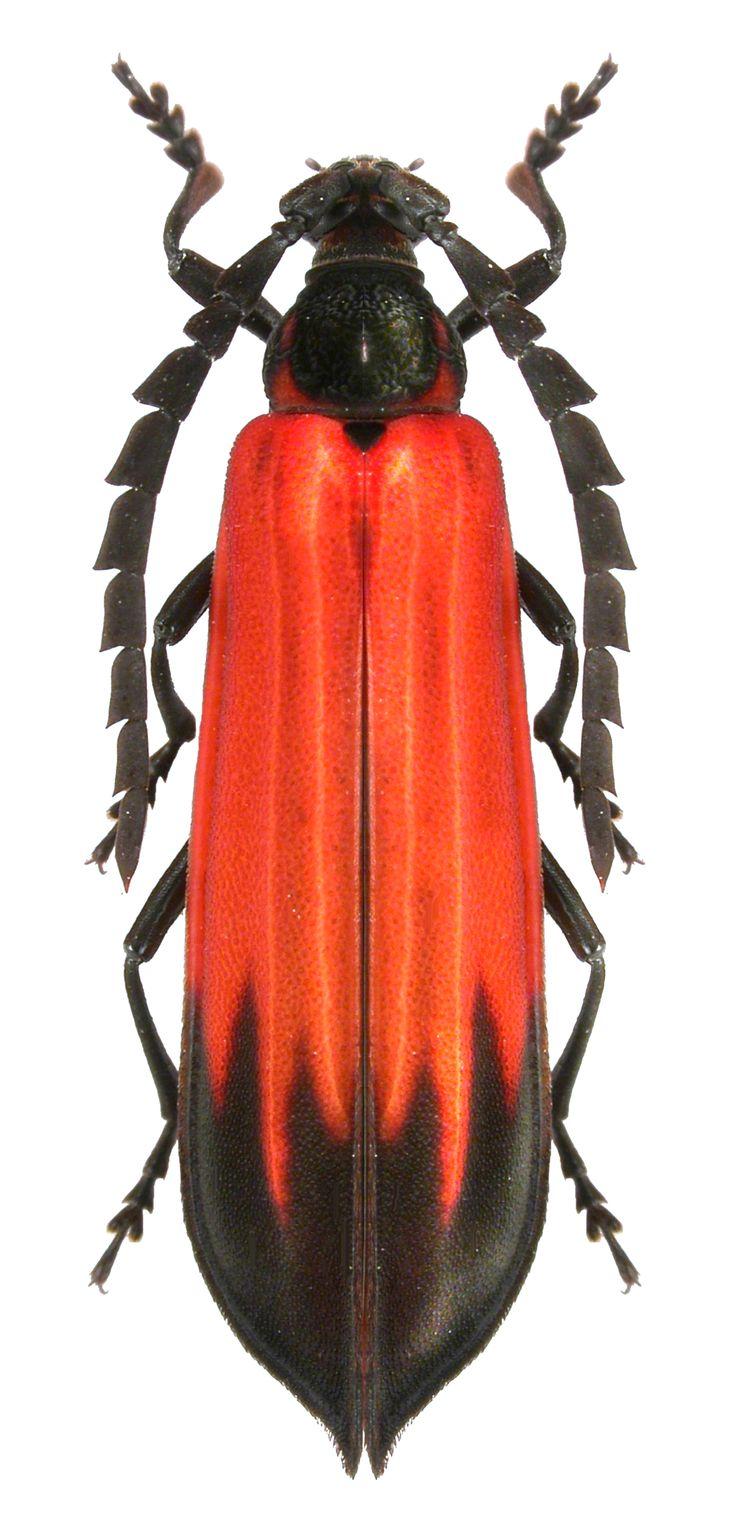 Erythrus ardens