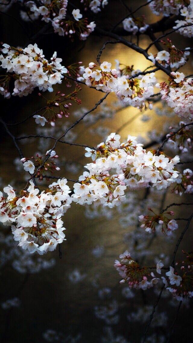 Wallpaper iPhone ⚪️ Spring flowers wallpaper, Plant