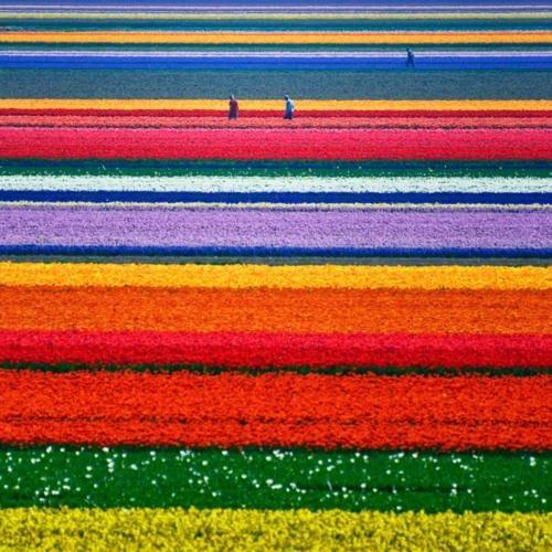 Holland. Tulips. Beautiful.