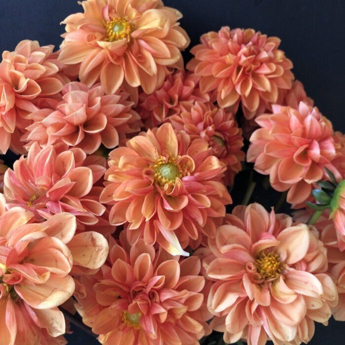 Pin On Dahlia Wish List