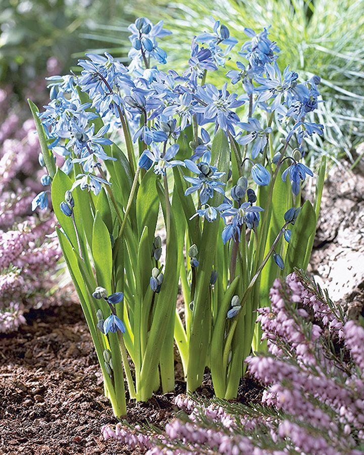 Pierwsze wiosenne kwiaty. Fot. Flora Press, Shutterstock #kwiaty #wiosna #wiosenne #pierwsze #krokusy #niebieskie #fioletowe #rośliny #zapach #las #ogródek #ogród #tapeta #flowers #spring #first #blue #violet