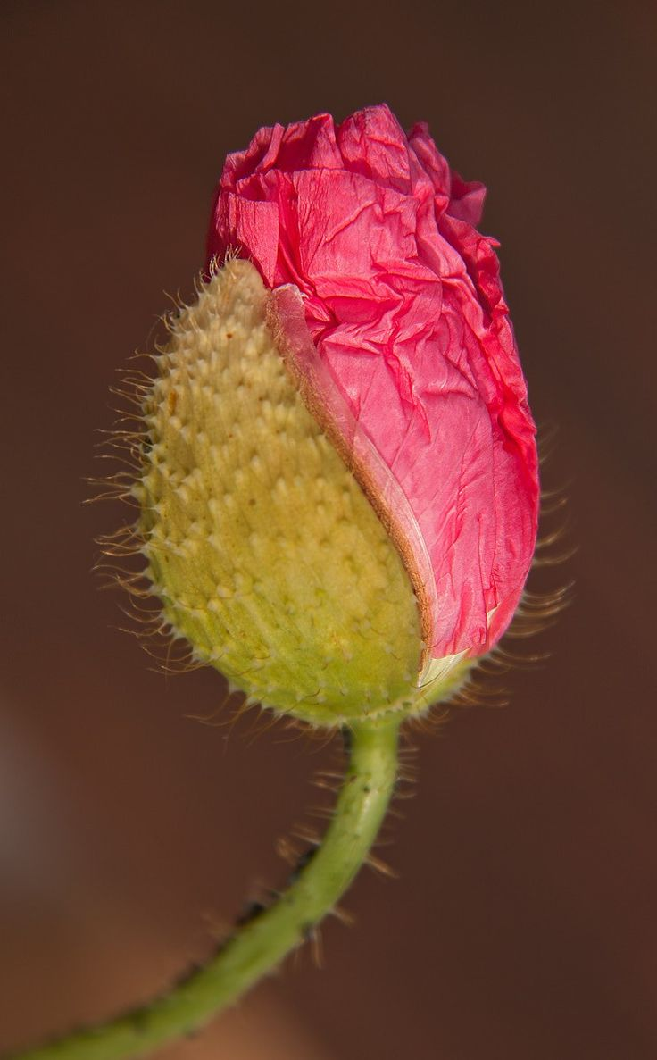 Poppy flower bud ~ By Hans                                                                                                                                                                                 Mehr