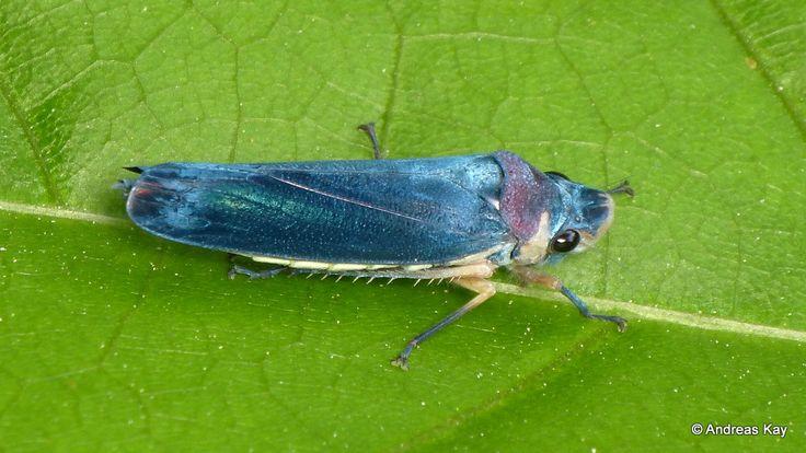 https://flic.kr/p/RAosD6 | Sharpshooter leafhopper, Proconiini | from Ecuador: www.flickr.com/andreaskay/albums