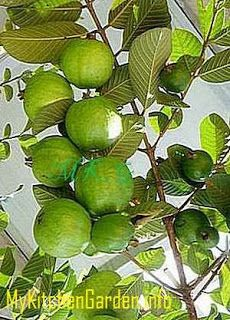 How to Plant, Grow and Care Guava Plants