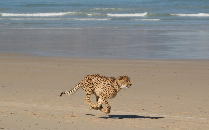 Chobe the cheetah is enjoying his first ever run on Strand Beach - just 2 kilometers from the Cheetah Outreach's new location at Paardevlei, Strand.  www.cheetah.co.za