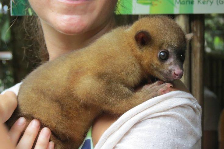 Kinkajou at Jaguar Rescue Centre, Puerto Viejo, Costa Rica.