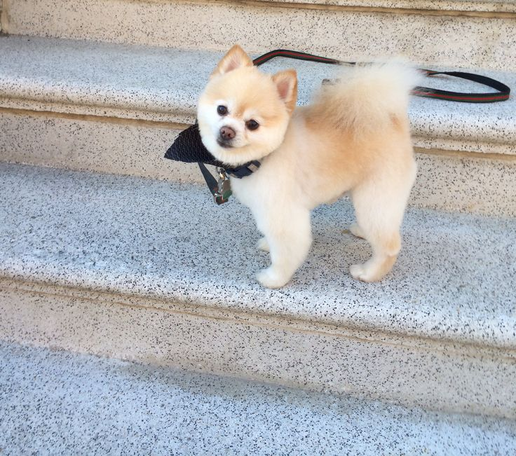 pomeranian haircuts styles ted s haircut just in time for handsome 2516