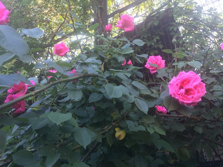 Multiple pink Roses.