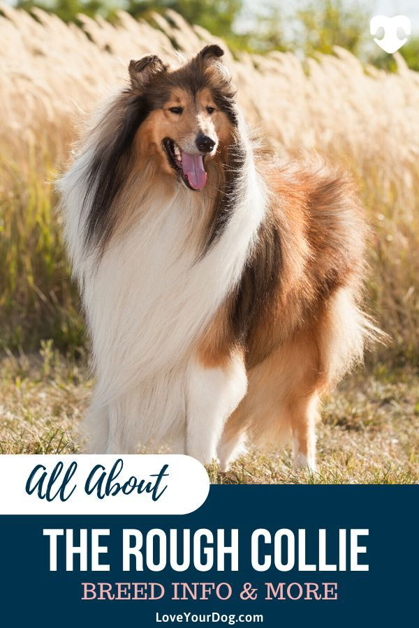 All About Rough Collies Breed Information Traits Temperament