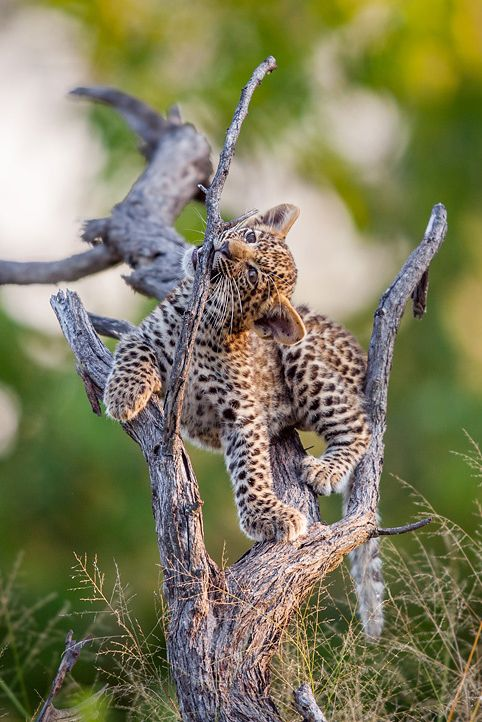 Leopard cub by Will Burrard-Lucas.