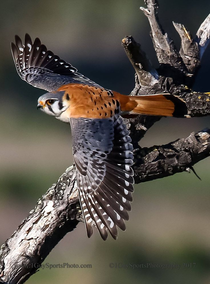 AMERICAN KESTREL....the smallest and most common falcon in North America....measures 8.7 to 12.2 inches long with a 20–24 inch wingspan....often used as a beginner's bird in falconry