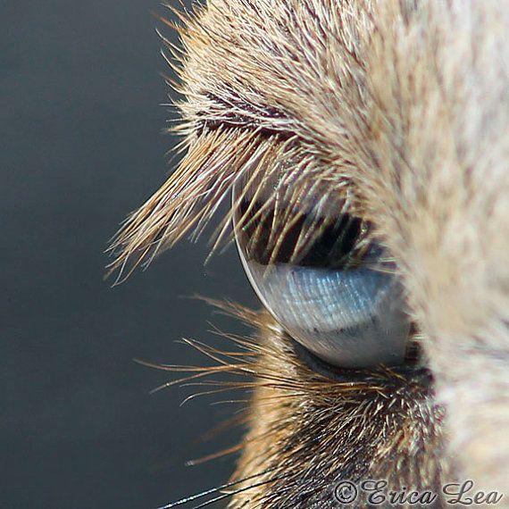 Photo of an ice blue goat eye  _ by Erica Lea. Ezels hebben wondermooie, grote ronde ogen.