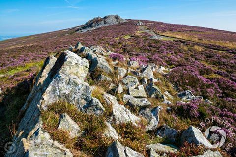 Quartzite rock and purple heather on the Stiperstones in south #Shropshire. #ShropshireHills