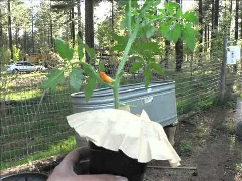 Καλλιέργεια ανάποδης ντομάτας by OnlinePress.gr
