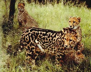 King's Cheetahs