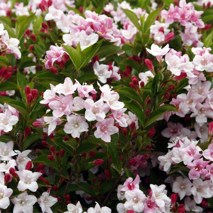 Liebliche Weigelie (Weigelia florida)