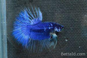 Ikan Cupang Halfmoon Blue Butterfly HM64. Kedua kedokan sehat, kedua dasi lurus, bertubuh proporsional, bersisik mengkilap, dan bermental berani. #ikan #ikancupang #halfmoon #bettafish #blue #butterfly