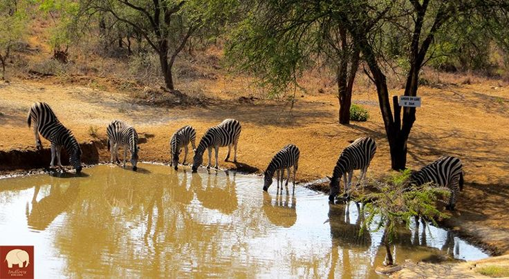 And now - Time for some Animal Planet... A herd of zebra at the waterhole - great afternoon viewing from the stilted hide at Indlovu.  #SitBackAndRelax #WildernessSafari #KarongwePrivateGameReserve Book Now: www.irl.co.za