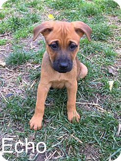 New York, NY - Boxer Mix. Meet Echo (MD) a Puppy for Adoption.