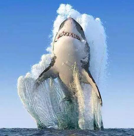 大白鲨从海里一跃而起,身后激起巨大的浪花
