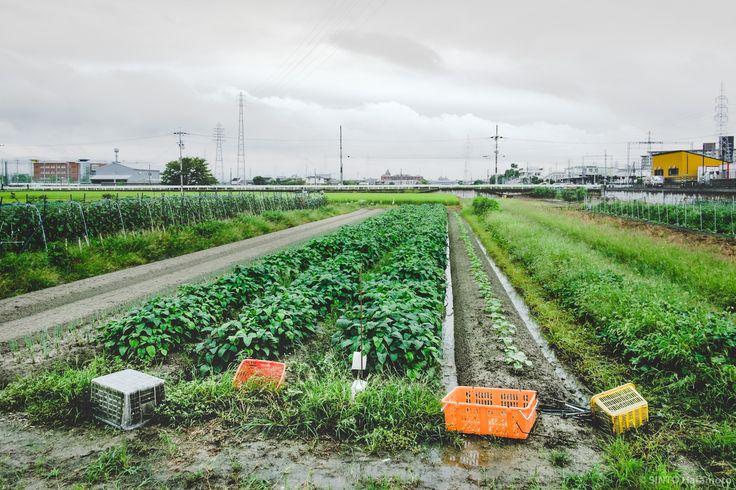 緑の穂。田んぼと鉄塔。くもり空。雨上がりの田んぼ