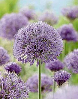 Allium aflatunense  70-90 cm Bloeitijd Mei-Juni Mooie soort…