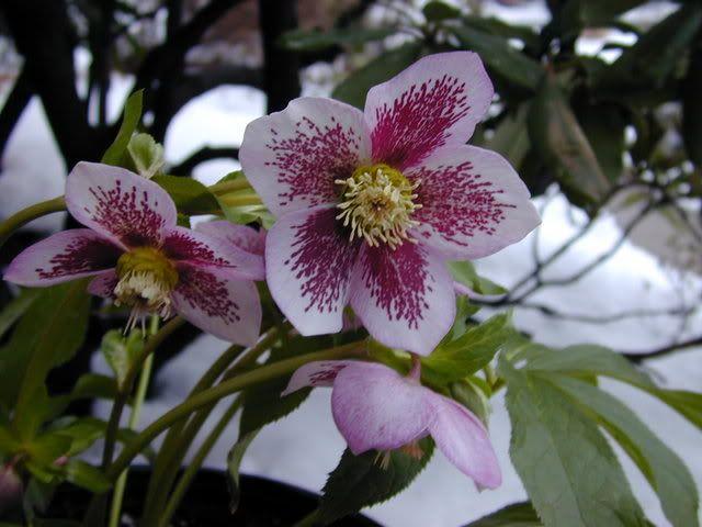 Garden Forum: Potted Hellebores   Some Pretties