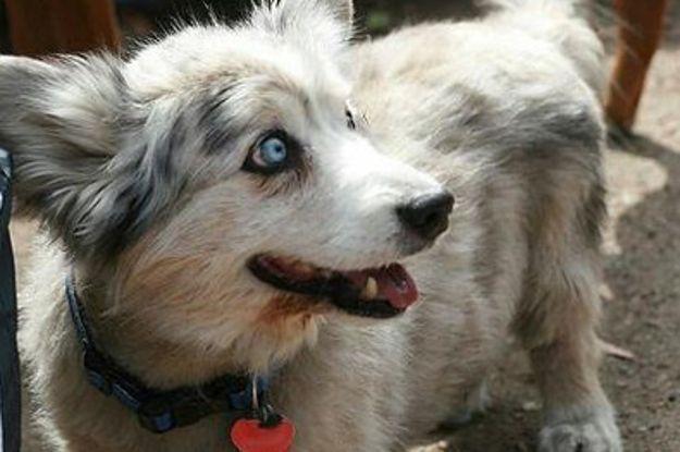 19 ungewöhnliche Hunde-Kreuzungen, die Dein Herz im Sturm erobern werden