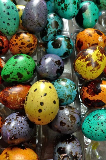 New Easter tradition: dyeing quail eggs! My love for all things tiny continues unabated.