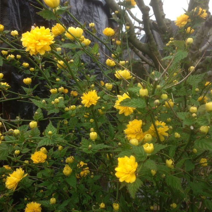 15 : Kerria japonica 'Pleniflora' / Gefüllter Ranunkelstrauch – stark blühend und dabei sehr pflegeleicht und standorttolerant. Ideal also Einzepflanze oder auch in einer Mischhecke