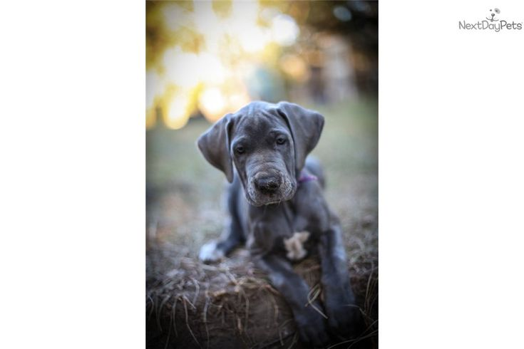 Great Dane Puppy for Sale: AKC Blue Great Dane - 409d7367-2791