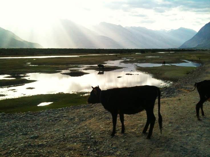 Cow and dawn At Nubra valley, Ladakh, India By zsombor nagy