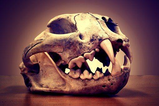 Cráneo, Muerte, León De Montaña