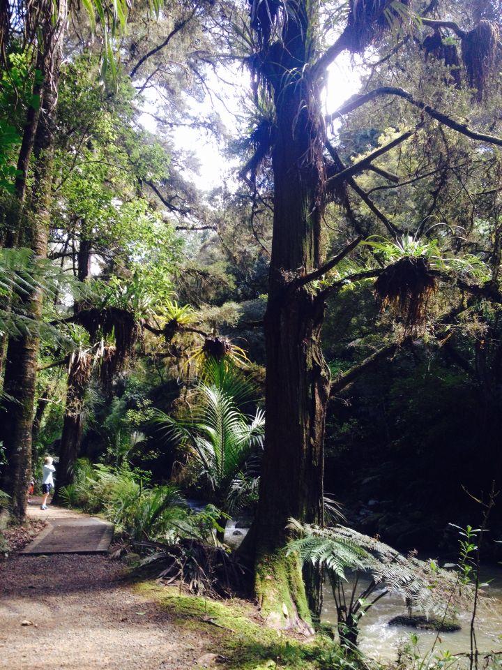 Bush walk towards Whangarei Falls