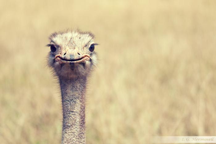 Você sabia que os olhos dos avestruzes são gigantescos? Eles medem cerca de 5 centímetros de diâmetro, sendo um dos maiores entre todos os animais terrestres. Aliás, eles são maiores que o próprio cérebro do animal!