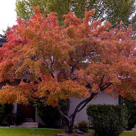 Acer Ginnala - Flame Amur Maple (20' x 15')