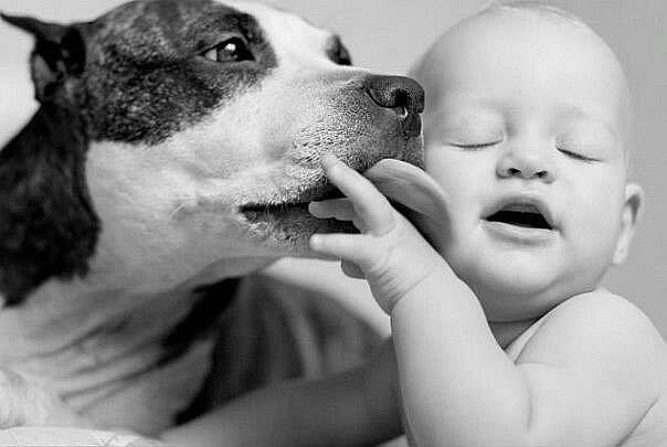 17 best images about amstaff  rottweiler  dogo argentino  dogo canario on pinterest