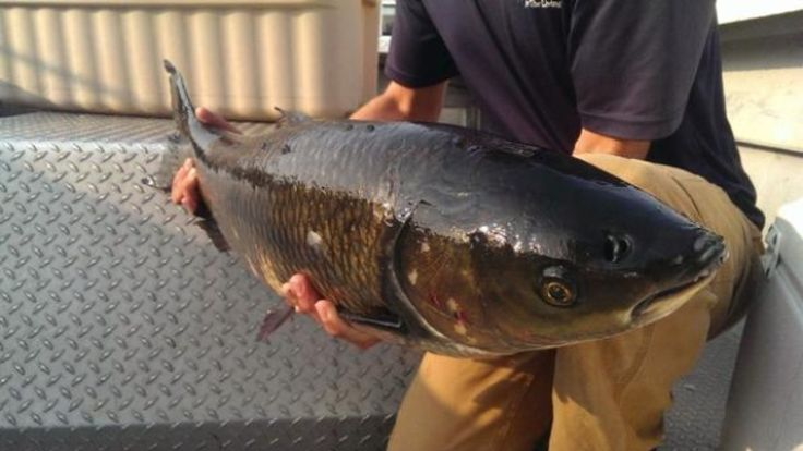 A commercial fisherman netted a grass carp in Lake Erie just off Point Pelee…