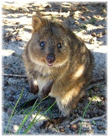 Best Quokka Love Gimmie One Images On Pinterest - 15 photos that prove quokkas are the happiest animals in the world