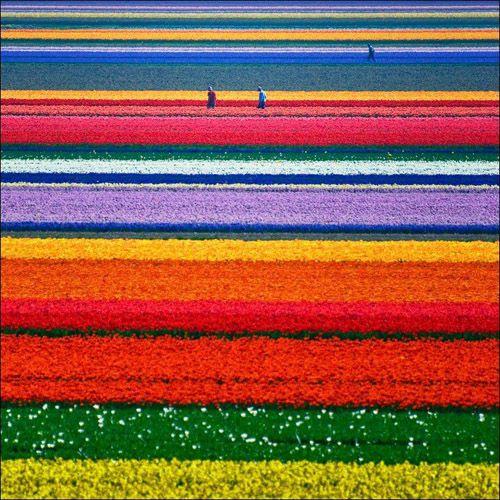Holland. Tulips. Windmills.
