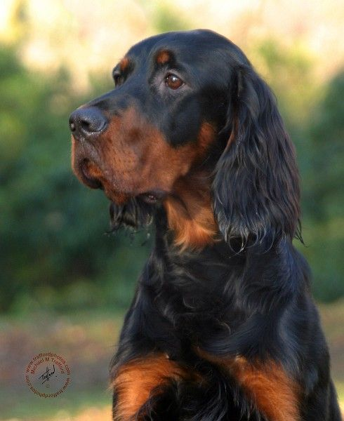 Gordon Setter...one day I WILL have one